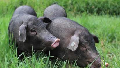 猪6.jpg