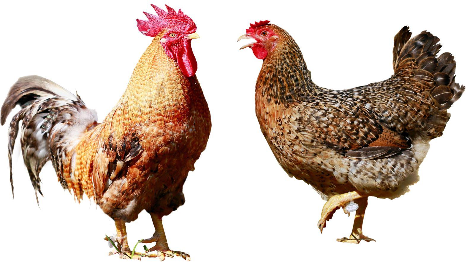 2021鸡1.jpg