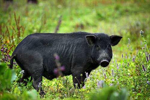 猪8.jpg