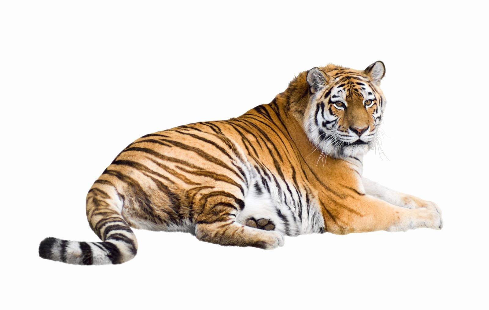 老虎2.png