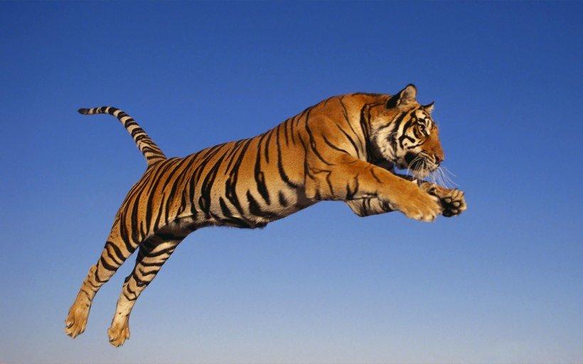 老虎3.png